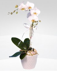 1 dallı orkide saksı çiçeği  Karaman çiçek satışı