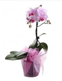 1 dal pembe orkide saksı çiçeği  Karaman çiçek yolla