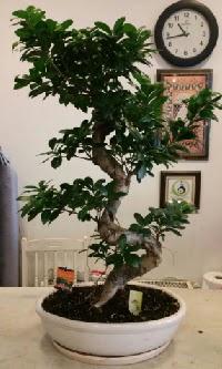 100 cm yüksekliğinde dev bonsai japon ağacı  Karaman ucuz çiçek gönder