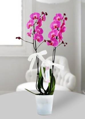 Çift dallı mor orkide  Karaman 14 şubat sevgililer günü çiçek