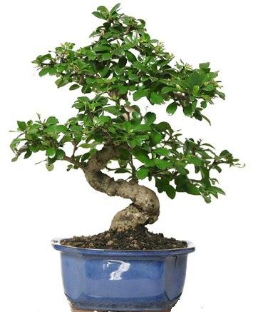 21 ile 25 cm arası özel S bonsai japon ağacı  Karaman internetten çiçek satışı