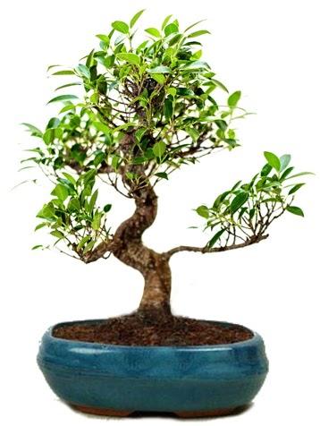 25 cm ile 30 cm aralığında Ficus S bonsai  Karaman hediye çiçek yolla