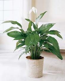 Karaman çiçek online çiçek siparişi  spatilyum ithal büyük boy