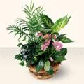 Karaman çiçekçiler  5 adet canli çiçek sepette