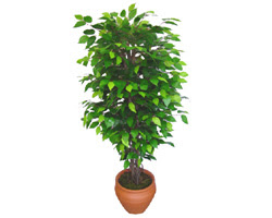 Ficus Benjamin 1,50 cm   Karaman yurtiçi ve yurtdışı çiçek siparişi