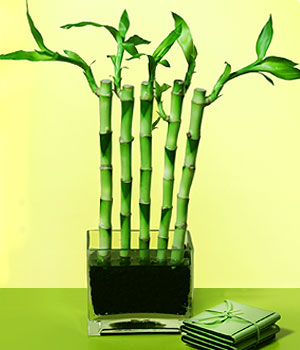 Karaman yurtiçi ve yurtdışı çiçek siparişi  Good Harmony Lucky Bamboo camda