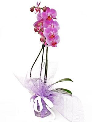 Karaman yurtiçi ve yurtdışı çiçek siparişi  Kaliteli ithal saksida orkide