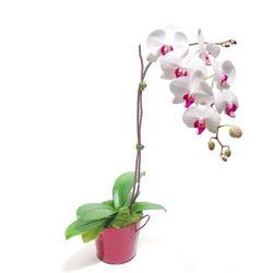 Karaman çiçek siparişi sitesi  Saksida orkide