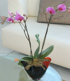 Karaman cicek , cicekci  tek dal ikili orkide saksi çiçegi