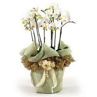 Karaman cicekciler , cicek siparisi  3 dal orkide , saksi çiçegi , 3 kök orkide