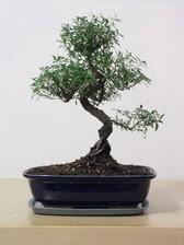 ithal bonsai saksi çiçegi  Karaman hediye sevgilime hediye çiçek