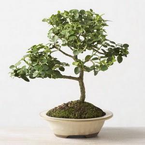 ithal bonsai saksi çiçegi  Karaman çiçek yolla , çiçek gönder , çiçekçi