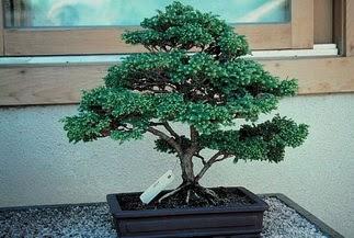 ithal bonsai saksi çiçegi  Karaman güvenli kaliteli hızlı çiçek