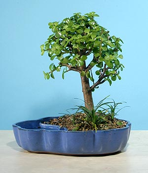 ithal bonsai saksi çiçegi  Karaman 14 şubat sevgililer günü çiçek