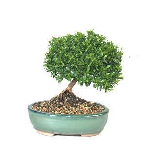 ithal bonsai saksi çiçegi  Karaman çiçek mağazası , çiçekçi adresleri