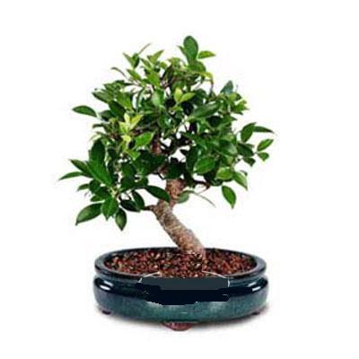 ithal bonsai saksi çiçegi  Karaman cicekciler , cicek siparisi
