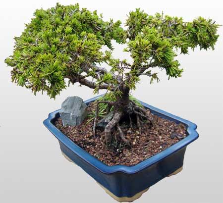 ithal bonsai saksi çiçegi  Karaman cicek , cicekci
