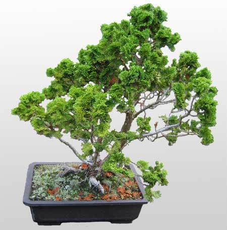 ithal bonsai saksi çiçegi  Karaman ucuz çiçek gönder