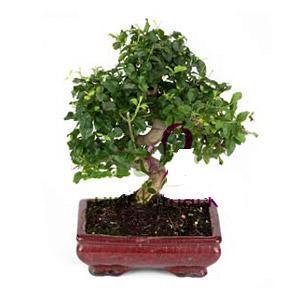 ithal bonsai saksi çiçegi  Karaman yurtiçi ve yurtdışı çiçek siparişi