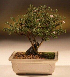 ithal bonsai saksi çiçegi  Karaman çiçek gönderme sitemiz güvenlidir