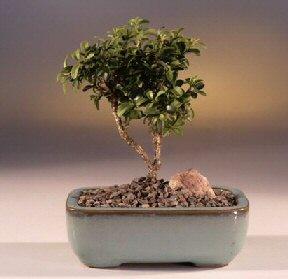 Karaman çiçekçi mağazası  ithal bonsai saksi çiçegi  Karaman uluslararası çiçek gönderme