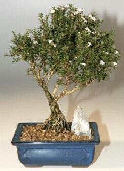 Karaman internetten çiçek siparişi  ithal bonsai saksi çiçegi  Karaman çiçek online çiçek siparişi