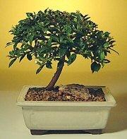 Karaman çiçek siparişi vermek  ithal bonsai saksi çiçegi  Karaman çiçek servisi , çiçekçi adresleri
