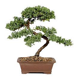 ithal bonsai saksi çiçegi  Karaman hediye çiçek yolla