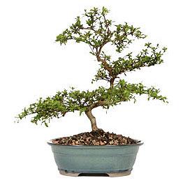 Karaman ucuz çiçek gönder  ithal bonsai saksi çiçegi  Karaman hediye çiçek yolla