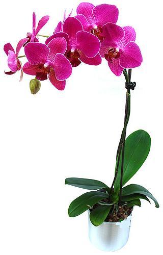 Karaman cicek , cicekci  saksi orkide çiçegi