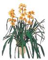 Karaman 14 şubat sevgililer günü çiçek  Orchiede ithal büyük boy saksi