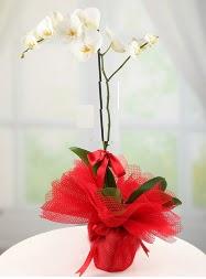 1 dal beyaz orkide saksı çiçeği  Karaman çiçekçi telefonları