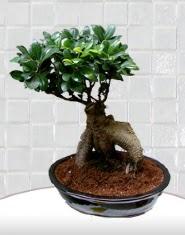 saksı çiçeği japon ağacı bonsai  Karaman çiçek yolla