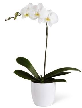 1 dallı beyaz orkide  Karaman güvenli kaliteli hızlı çiçek