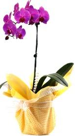 Karaman cicekciler , cicek siparisi  Tek dal mor orkide saksı çiçeği