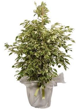 Orta boy alaca benjamin bitkisi  Karaman uluslararası çiçek gönderme