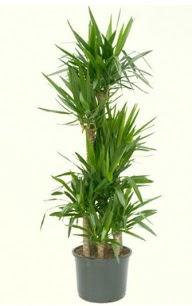 7 li yucca saksı bitkisi  Karaman İnternetten çiçek siparişi