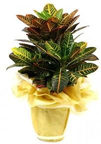 Orta boy kraton saksı çiçeği  Karaman güvenli kaliteli hızlı çiçek