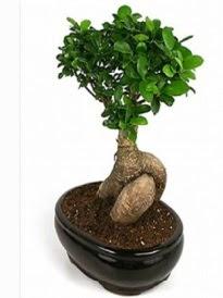 Bonsai saksı bitkisi japon ağacı  Karaman cicekciler , cicek siparisi