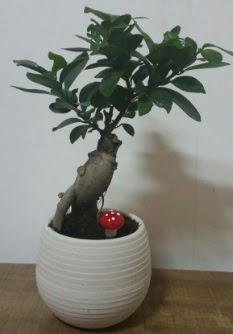 Bonsai japon ağacı saksı çiçeği  Karaman hediye çiçek yolla