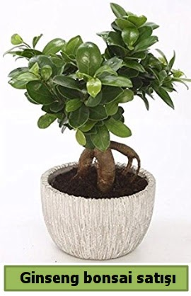Ginseng bonsai japon ağacı satışı  Karaman internetten çiçek satışı