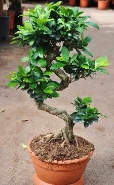 Orta boy bonsai saksı bitkisi  Karaman anneler günü çiçek yolla
