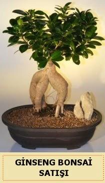 İthal Ginseng bonsai satışı japon ağacı  Karaman cicekciler , cicek siparisi