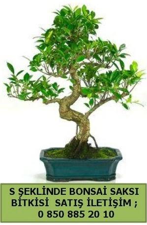İthal S şeklinde dal eğriliği bonsai satışı  Karaman çiçek siparişi sitesi