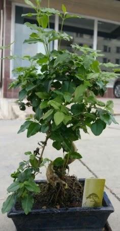Bonsai japon ağacı saksı bitkisi  Karaman hediye sevgilime hediye çiçek