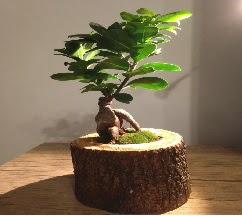 Doğal kütükte Bonsai japon ağacı satışı  Karaman uluslararası çiçek gönderme