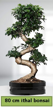 80 cm özel saksıda bonsai bitkisi  Karaman internetten çiçek satışı