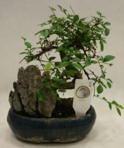 İthal 1.ci kalite bonsai japon ağacı  Karaman çiçekçiler