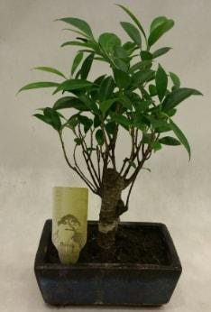 Japon ağacı bonsai bitkisi satışı  Karaman internetten çiçek satışı