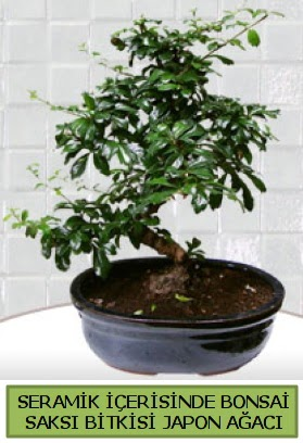 Seramik vazoda bonsai japon ağacı bitkisi  Karaman cicekciler , cicek siparisi